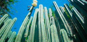 cactos de wachuma o San Pedro